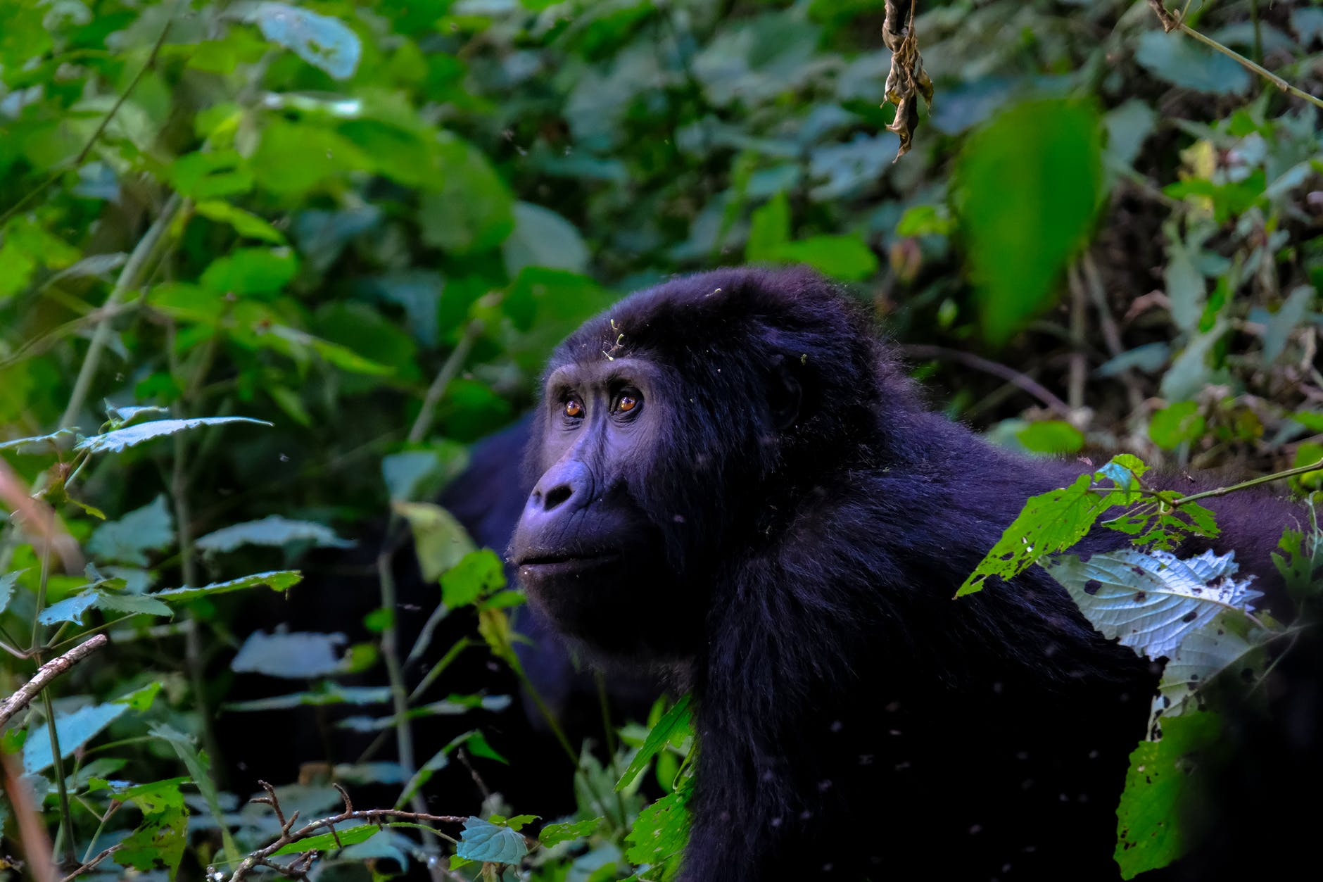 great_apes_of_uganda