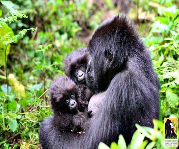 apes cut