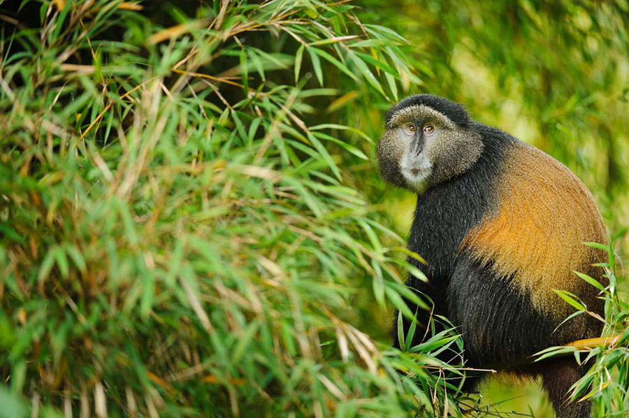 golden monkey africa
