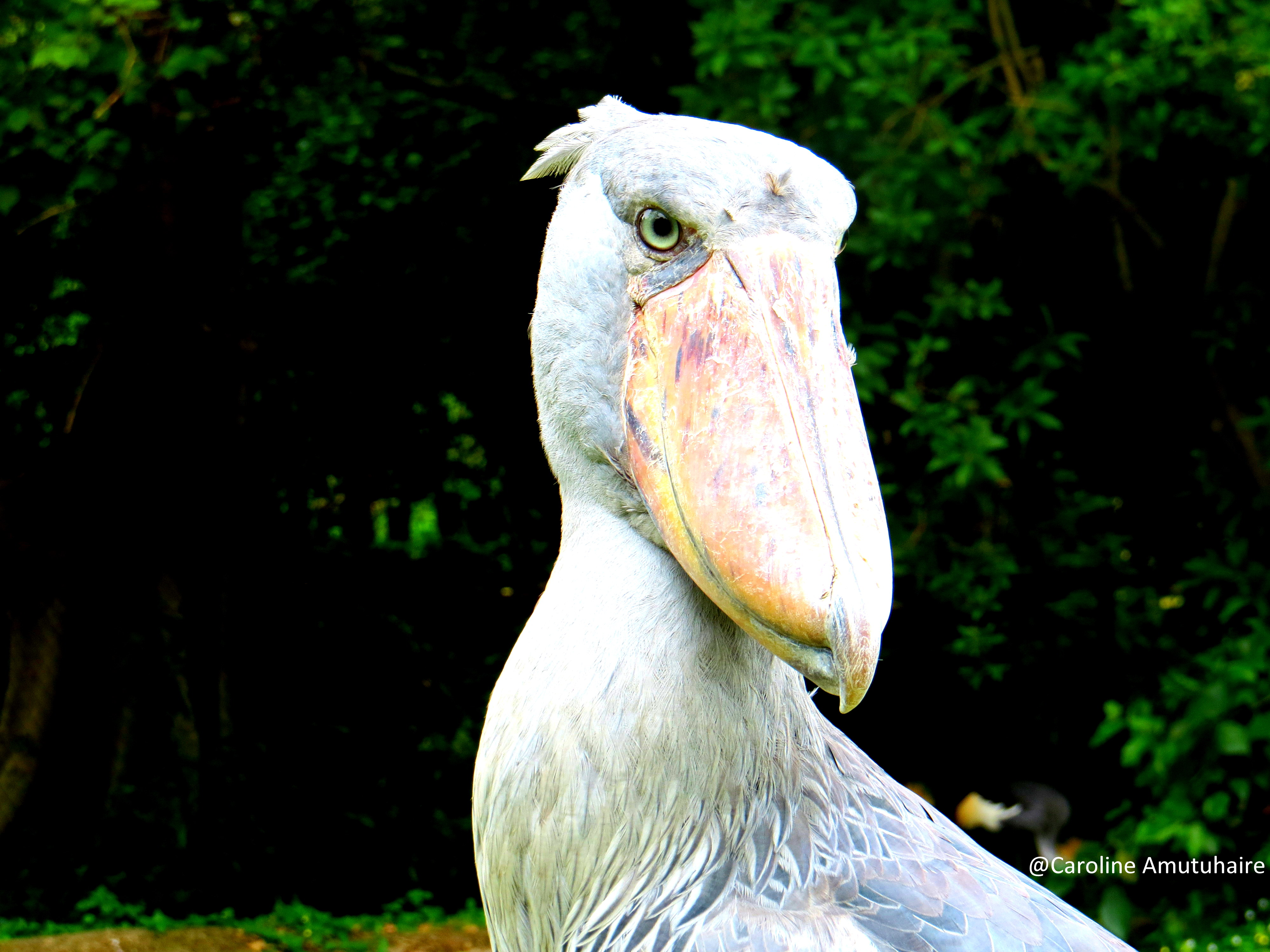 Shoebill stork common at Mabamba wetland swamp